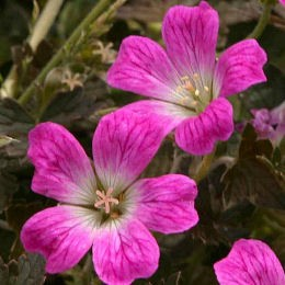 geranium_orkney_cherry_planfor01.jpg