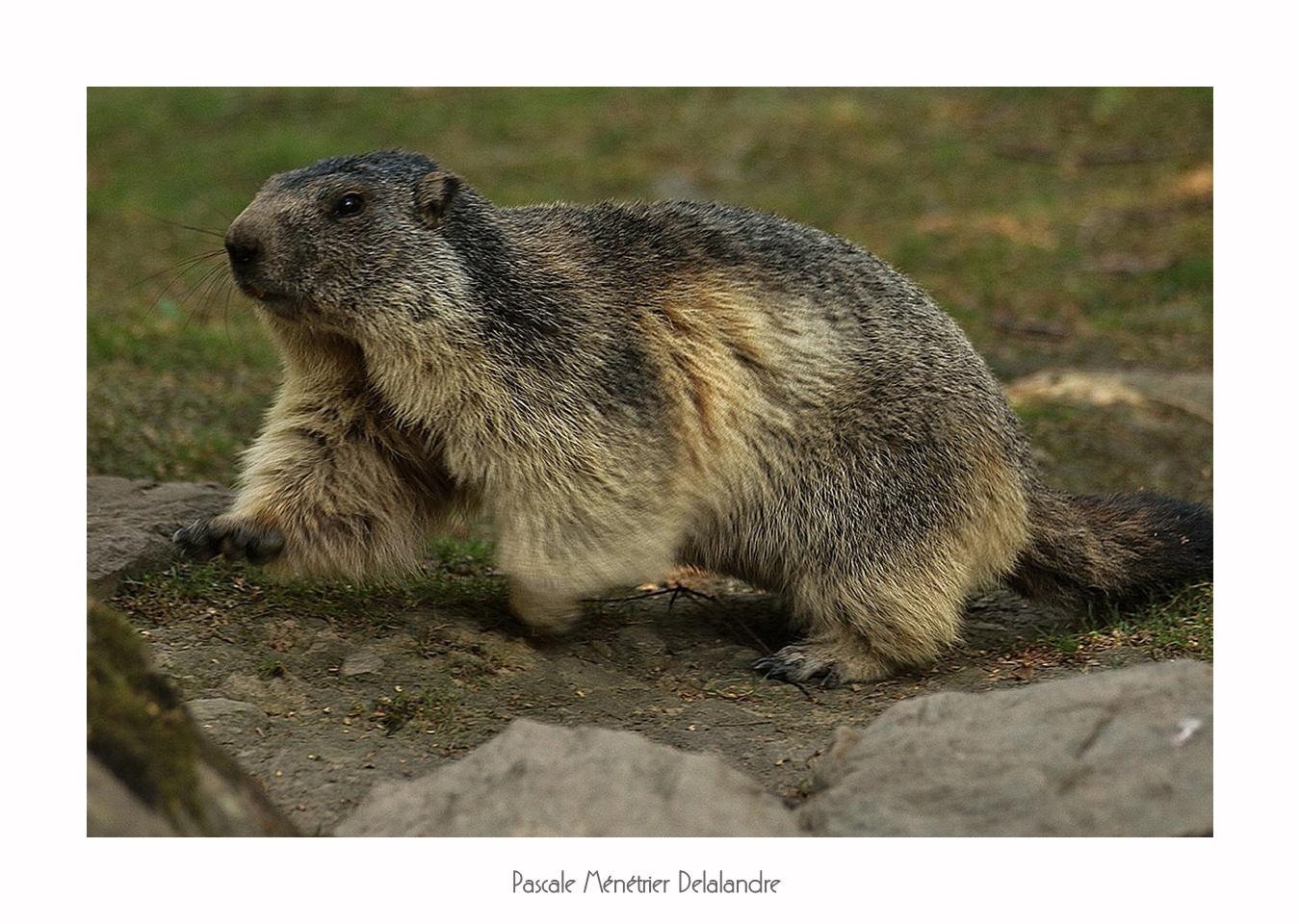 Marmottes en été