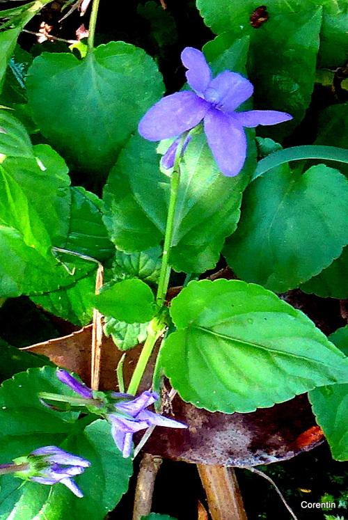 Une fleur : une violette !