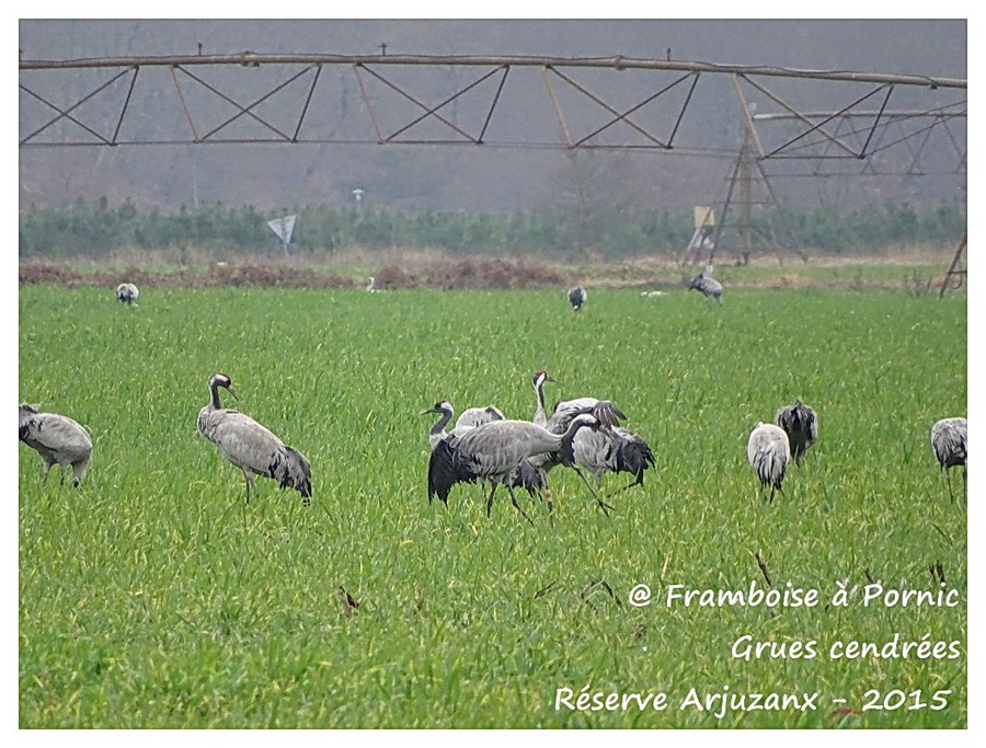 Grues cendrées réserve d'Arjuzanx 2015