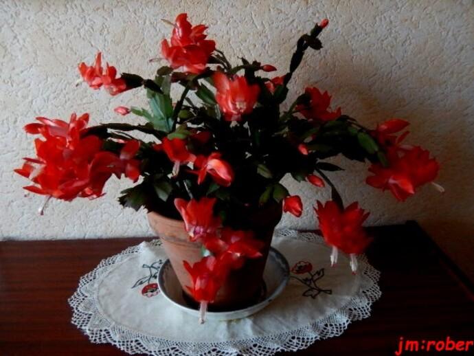 Cactus de Noël ...un cadeau du Brésil.