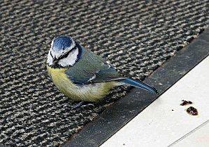 Mesange-bleue-ds-veranda-23-10-10-021.jpg