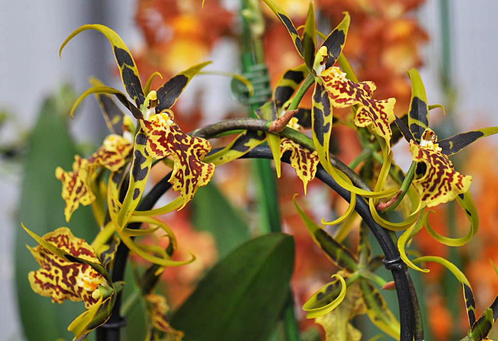 exposition d'orchidées à Annequin  (9)
