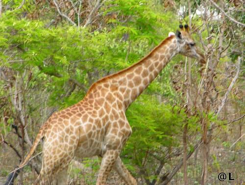 La symphonie animale en Afrique