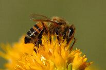 """Résultat de recherche d'images pour """"abeille qui butine"""""""