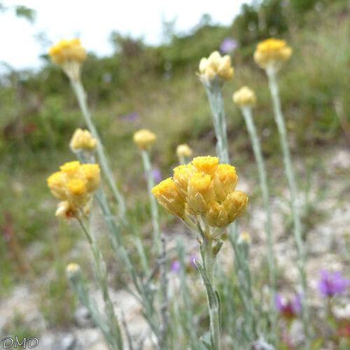 Helichrysum stoechas - Immortelle jaune