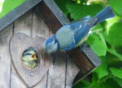 Bébés mésanges bleues
