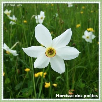 Narcisse des poètes-Narcissus poeticus