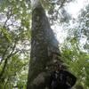 Kauri arbre sacré