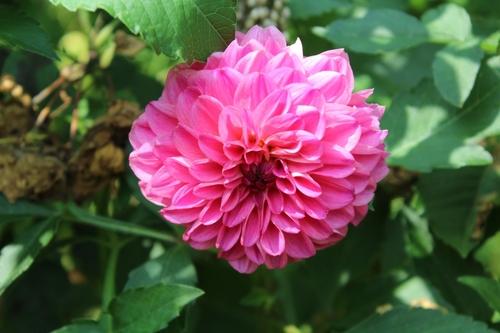Belles remontées de roses et 1er aster