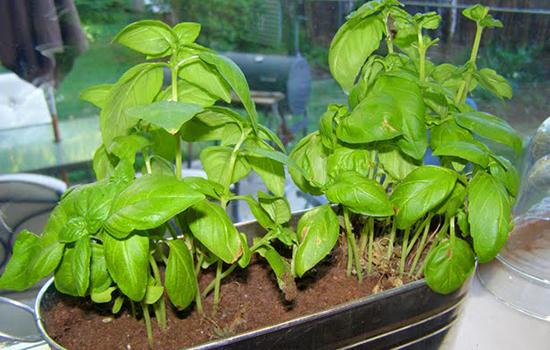 10 légumes quon peut faire repousser