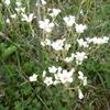 Saxifrage granulée (Saxifraga granulata)