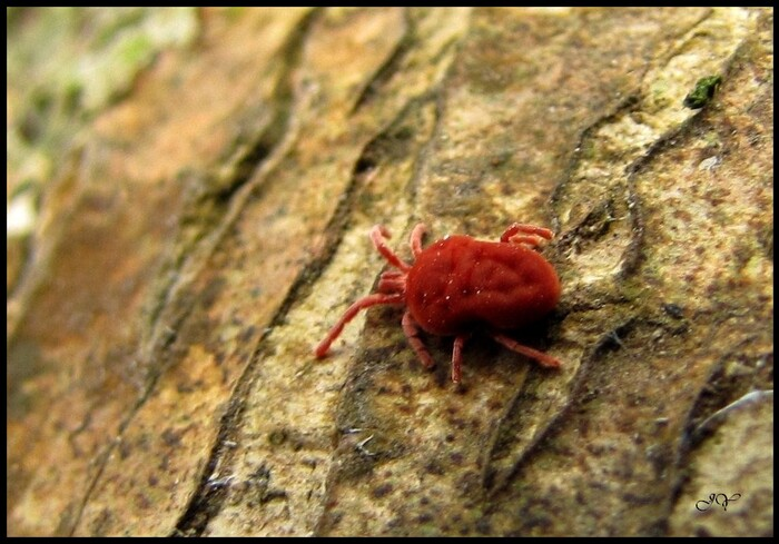 Trombidiidae...