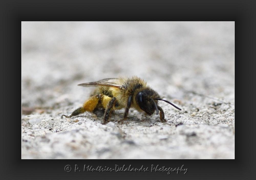Une abeille après séance de débarbouillage...