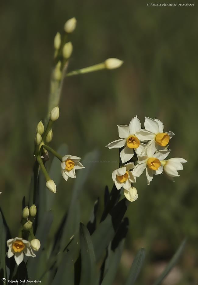 Narcissus Tazetta - Narcisse Tazette