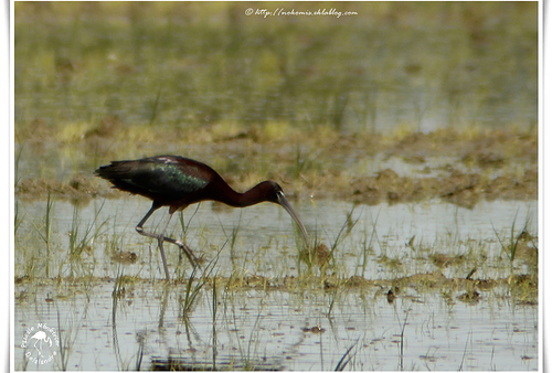 Ibis falcinelle - Plegadis falcinellus - Glossy Ibis