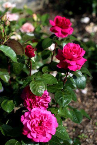 Les Roses de Warren : Chérie de mon Coeur