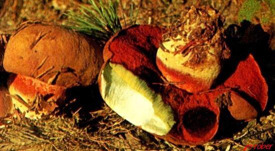 Familles de champignons , les bolets