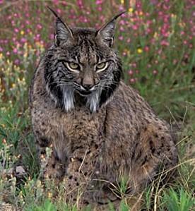 lynx canada cc01 Lynx,pardelle1 1296833204