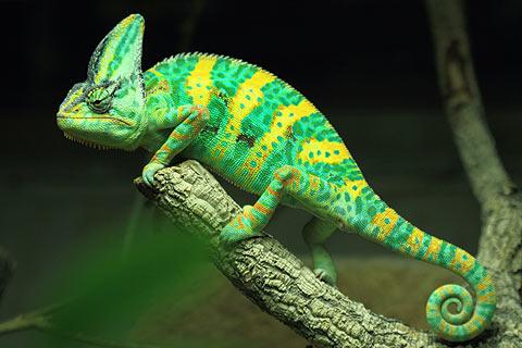 Résultats de recherche d'images pour «caméléon»