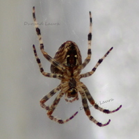 Araneus Diadematus ou Epeire diadème - Le dessous