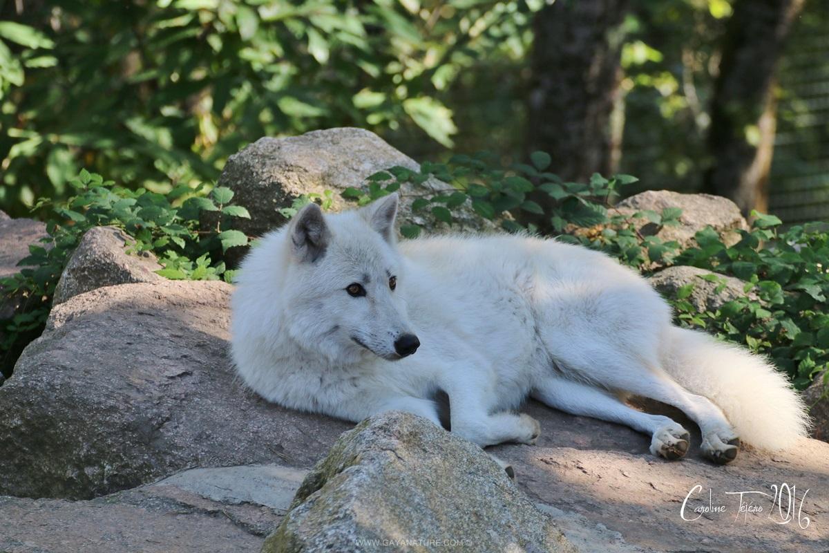 Dans l'intimité du Loup Artique