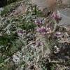 Chardon des Pyrénées fausse-carline (Carduus carlinoides) Couloir sous la Hourquette de Bachebirou