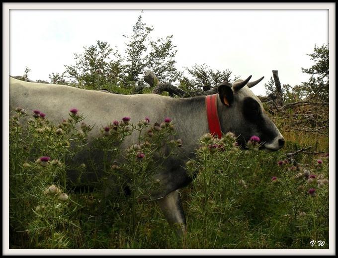 Des vaches en montagne