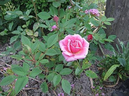 fleurs de chez ma grand mére (10)