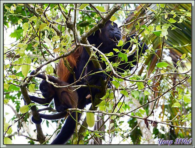 Blog de images-du-pays-des-ours : Images du Pays des Ours (et d'ailleurs ...), Singes Hurleurs: ma maman et moi - Parc National de Cahuita - Puerto Viejo de Talamanca - Costa Rica