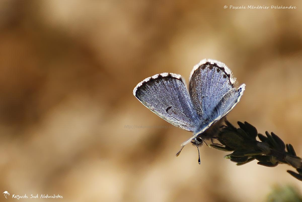 L'Azuré du thym / Baton Blue (Pseudophilotes baton) - Lycaenidae