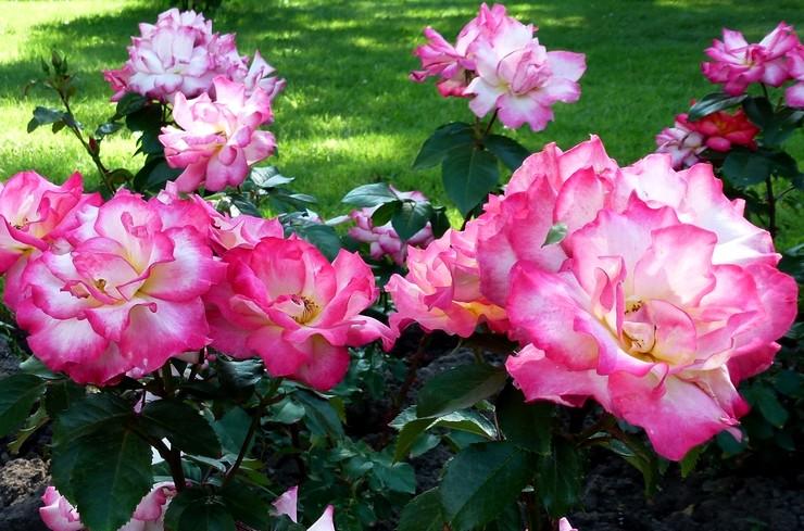 rosier floribunda Rainbow Sorbet
