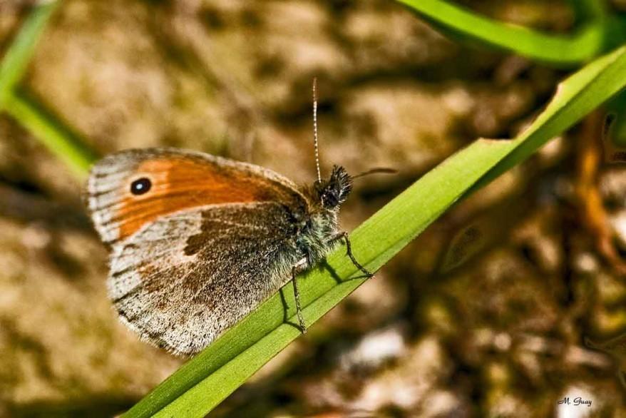 papillon-myrtil-9790.jpg