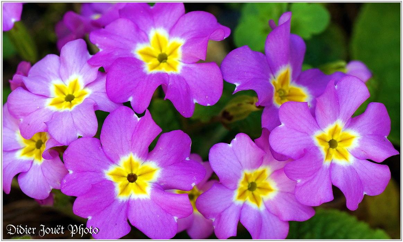 Primevère Cultivée / Primula polyantha