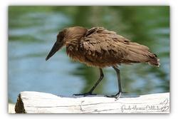 Ombrette africaine - Parc des oiseaux