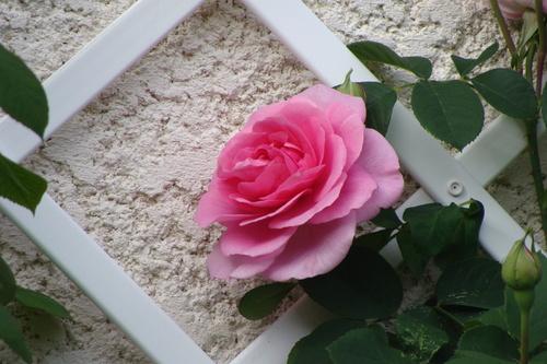 Mignonne, allons voir si les roses...