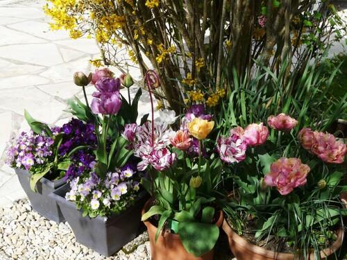 Tulipes & pensées