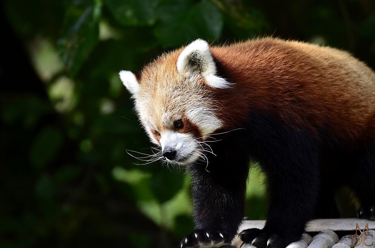 Petit panda, Panda roux