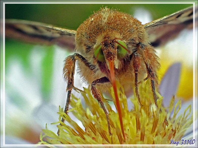 Papillon de nuit  Noctuelle peltigère (Heliothis peltigera), volant de jour et aux yeux verts - Lartigau - Milhas - 31