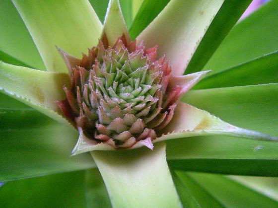 Planter un ananas 4