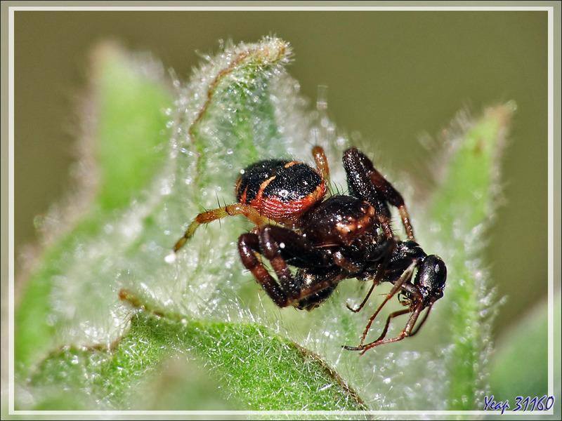 Araignée Thomise globuleuse rouge et sa proie (une fourmi), Thomise Napoléon, Napoleon spider (Synema globosum) - Lartigau - Milhas - 31