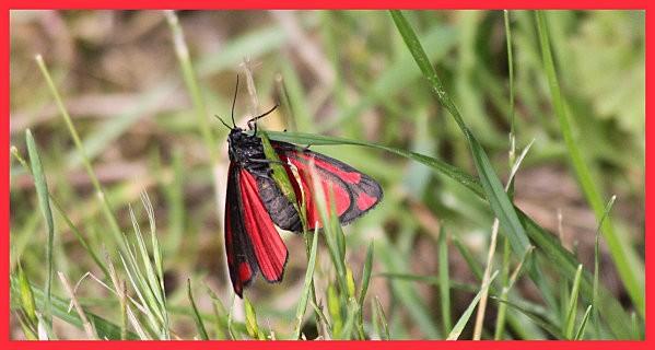 papillon rouge et noir1