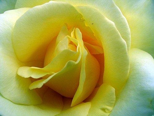 roses-plouvien-france-1332771868-1083648