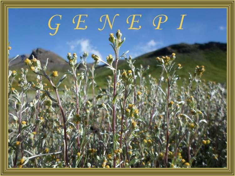 Vertus médicinales des plantes sauvages  : Génépi
