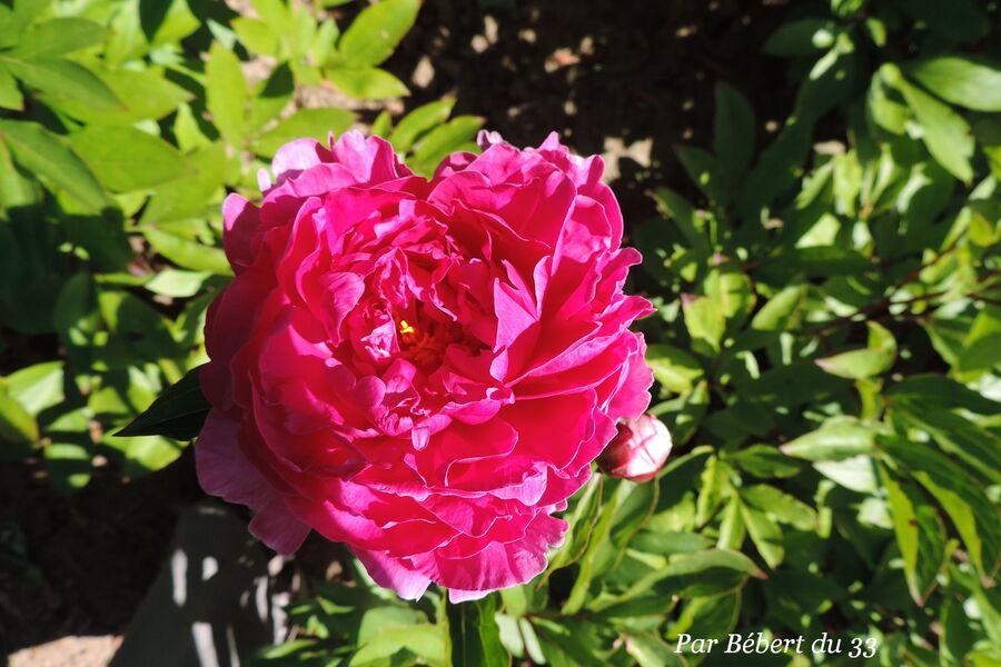 le parc floral de Bordeaux - les pivoines (3)
