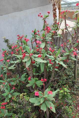 Euphorbia milii ou épines du Christ