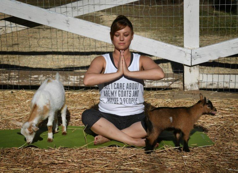 """Le """"Goat Yoga"""", ou """"Yoga chèvre"""" est la dernière folie en matière d\"""