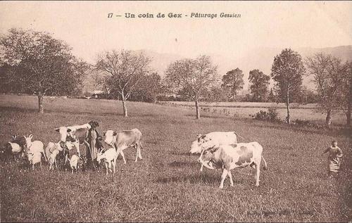 14 - Encore des cartes postales, avec des vaches