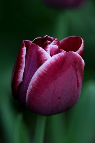Tulipes-Arabian-Mystery1.jpg