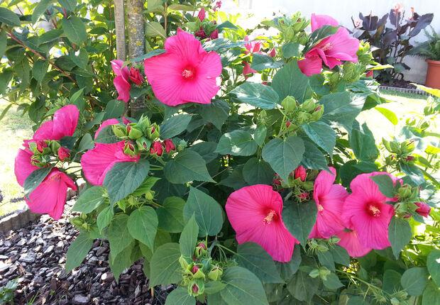Altéa - Hibiscus fleurs géantes.